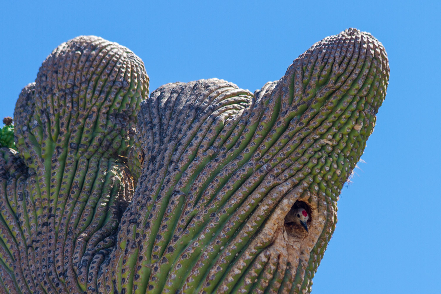 Gila Woodpecker nesting in a Crested Saguaro Cactus